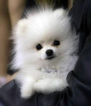 Teacup Pomeranian: Training & Raising Teacup Pomeranian Dog Breeds