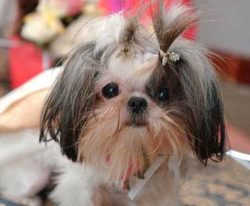 Teacup Shih Tzu Training Raising Teacup Shih Tzu Dog Breeds