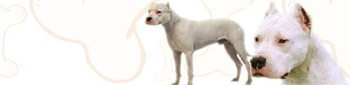 Argentine Dogo image