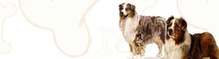 Australian Shepherd image
