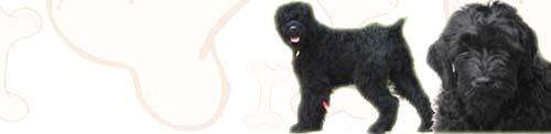 Black Russian Terrier image