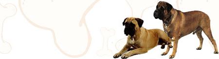 Bull Mastiff image