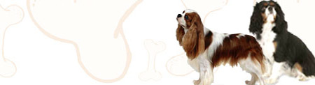Cavalier King Charles Spaniel image