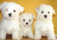 Teacup Maltese: Training Tips For Teacup Maltese Dog Breeds
