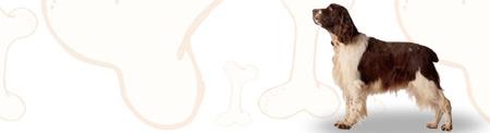 English Springer Spaniel image