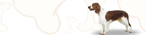 Welsh Springer Spaniel image