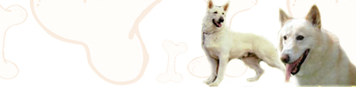 White German Shepherd image