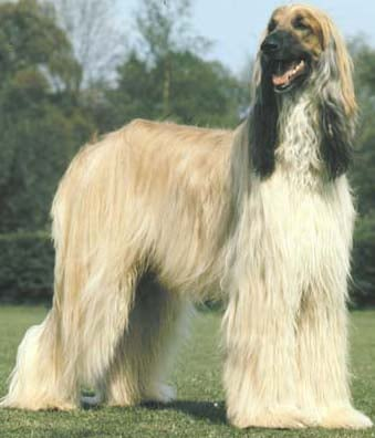 afgan dog