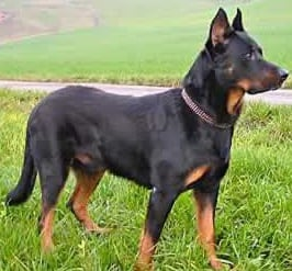 Beauceron dog