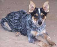Training Tips For Blue Heeler Dog Breeds