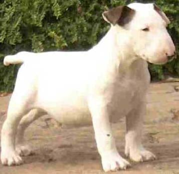 Bull terrier free online seminars and free training course on bull