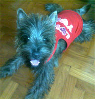 Free Cairn Terrier: Training Mini Course
