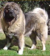 Caucasian Mountain Dog  Free Training Course on Caucasian Mountain