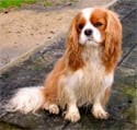 Long Coat Cav King Charles Spaniel