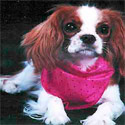Cav King Charles Spaniel Training