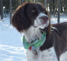 Dogs >> English Springer Spaniel - Free Training Course on