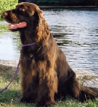 Grooming A Field Spaniel the Field Spaniel is today