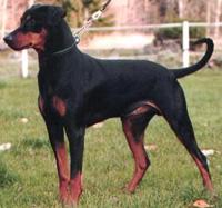 Dogs >> German P...