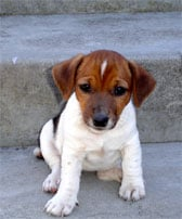 Jack Russell Terrier Dog Breed Selector