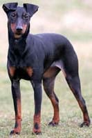 Manchester Terrier is ...