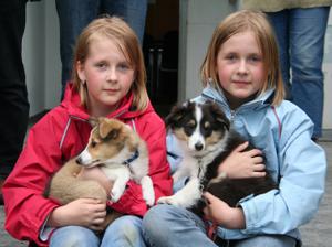 Shetland Sheepdog Size & Appearance