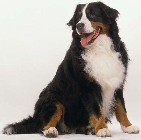 Where Can I Get A Bernese Mountain Dog