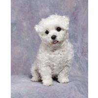 bichon_frise_puppy.jpg