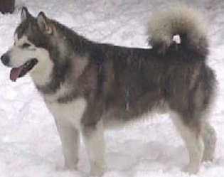 Alaskan Husky: Learn More about Alaskan Huskies, Training And ...
