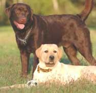 Labrador Retriever: Training Tips For Labrador Retriever Dog