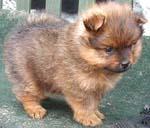 Dogs >> Pomeranian - Free Training Course on Pomeranians
